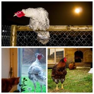 Truthahn Hahn und Hühner